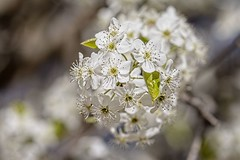 Trees Spring Forth (brev99) Tags: flowers white tree bokeh whiteflowers d7100 topazdenoise tamron180f35 topazdetail cacorrection dxooptics8