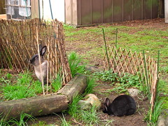 Toki and Zuzu (Anomieus) Tags: pet cute rabbit bunny bunnies animal furry konijn conejo tail ears rabbits paws coney coelho lapin kaninchen houserabbit coniglio cottontail  cony kanin  krlik leporidae nyl  iepure  leporid    kuni