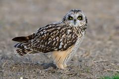 Coruja-do-nabal   Short-eared-owl   Asio flammeus (Álvaro Nunes) Tags: shortearedowl asioflammeus corujadonabal