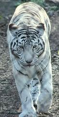 (pjsells) Tags: zoo nashville wildlife tiger whitetiger nashvillezoo wildlifephotography