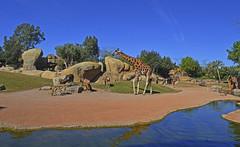 Primavera en la Sabana africana de BIOPARC Valencia (Bioparc Valencia) Tags: primavera jirafas sabana bioparc bioparcvalencia