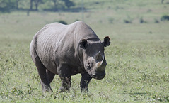 Black Rhino (howzey) Tags: kenya blackrhino lakenakuru
