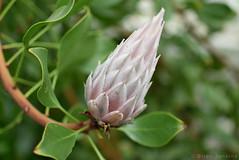Pointed Flower (HDR) (Bri_J) Tags: uk flower nikon sheffield yorkshire botanicalgardens hdr southyorkshire d7200
