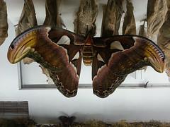 Atlas Moth - Attacus atlas (bugsnbots) Tags: moth lepidoptera atlas attacus
