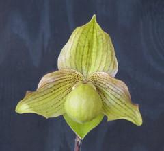 Paphiopedilum Norito Hasegawa x fairrieanum (cieneguitan) Tags: flower flora lan ran orkid slipperorchids okid angrek anggerek