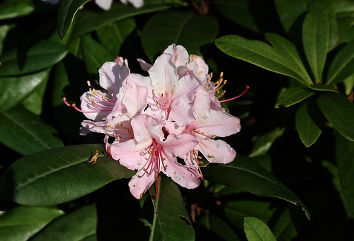 Rhododendron early spring