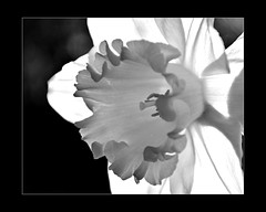 Transparent Narcissus (Lady twenty6) Tags: bw sun transparency narcissus