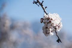 Flor d'ametller (Ramon Orom Farr [calBenido]) Tags: espaa naturaleza flores primavera rama catalua branca flors almendros agricultura pallars pallarsjuss bohek ametllers prepirineu desenfocat elpallarsjuss isonaiconcadell calbenido naturaresa