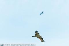 _DSC4791.jpg (orig_lowolf) Tags: usa dog nature oregon nikon flickr osprey lakeoswego turkeyvulture d300s sigma150500mmf563afapodgoshsmtelephotozoom