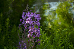 Fireweed, the sub-arctic bloom (kaykaybarrie) Tags: flowers ontario native lakesuperior fireweed provincialparks