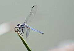 Blue Dasher Dragonfly-- Male (Pachydiplax longipennis); Tucson, AZ, Christopher Columbus Park [Lou Feltz] (deserttoad) Tags: park arizona lake nature water insect pond dragonfly dasher odonate