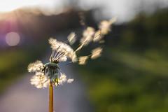 Dandelion (Role Bigler) Tags: nature spring bokeh natur dandelion eveninglight frhling lwenzahn pusteblume botanik abendlicht bokehlicious canoneos5dsr tamronsp45mmf18divcusd
