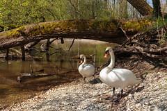 Spring Outing of Mr. and Mrs. Swan (Harald Schnitzler) Tags: sterreich swan couple schwan ch frhling hchst vorarlberg eselschwanz
