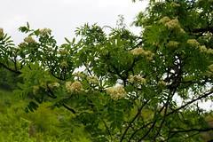 virgz madrberkenye / rowan tree in bloom (debreczeniemoke) Tags: tree forest spring rowan fa tavasz mountainash rosaceae sorbusaucuparia erd vogelbeere sorbierdesoiseleurs pyrusaucuparia sorbodegliuccellatori madrberkenye rzsaflk sorbierdesoiseaux olympusem5 scorudemunte