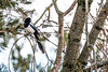 Pie bavarde (Pica pica) (yann.dimauro) Tags: france animal nb fr extérieur oiseau rhone faune rhônealpes givors ornithologie yanndimauro