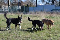 Harmonic triplet (mikros.anthropos) Tags: fili dog hund crossbreed mix mutt mischling tier animal husky australianshepherd bordercollie nikond3300 outdoor dogs hunde hollandseherdershond
