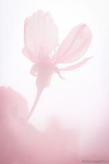 DSC_8531 (Frankie Tseng ()) Tags: park pink flowers sunset sky bw flower silhouette photography 50mm blackwhite nikon outdoor flash sunny tokina cherryblossoms fade nikkor 70300mm tamron 90mm f8 1224mm f28 f4 1870mm bwphotography blackwhitephotography portraitphotography outdoorportrait sb900 yongnuo outdoorportraitphotography yn568