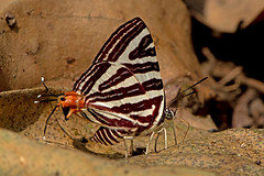 Cigaritis seliga - the Large Long-banded Silverline (BugsAlive) Tags: macro nature animal butterfly insect thailand outdoor wildlife butterflies insects lepidoptera chiangrai lycaenidae theclinae liveinsects  cigaritisseliga largelongbandedsilverline