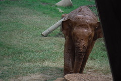 Baby elephant (kcosgrove) Tags: mai chiang