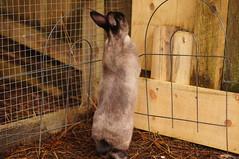 Toki playing at fence (Tjflex2) Tags: boy pets canada cute rabbit bunny bunnies nature girl vancouver mammal furry pretty bc friendship fuzzy conejo small adorable cuddly coelho playful lapin usagi krolik kanin lagomorph toki lepus fenek iepure muyal kelinci ilconiglio coinin sungura leporidea