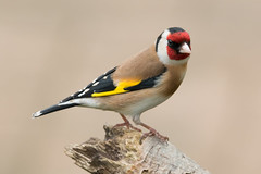Golden (Andrew_Leggett) Tags: red portrait brown white black yellow spring goldfinch perched cardueliscarduelis rspboldmoor andrewleggett