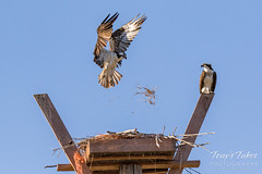 Male Osprey tosses grass toward its nest - Sequence - 12 of 19