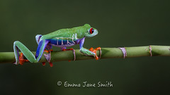 On my way (emmadavidso) Tags: tree walking bamboo frog amazonian agalychniscallidryas redeyed