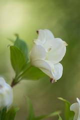 Dogwoods at Cheekwood (MichellePhotos2) Tags: white flower macro tree green garden spring flora nikon nashville blossom bloom flowering tennesse dogwoods cornus cheekwood 150mm carell floweringdogwood cheekwoodbotanicalgarden carelldogwoodgarden d800e nikond800e