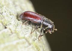 Bark Beetle (4.5mm) (Prank F) Tags: macro nature closeup insect wildlife sandy beetle bark thelodge rspb bedfordshireuk