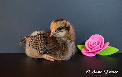 pretty little girl (Anne Marie Fraser) Tags: flower cute chicken girl pretty adorable cutie chick barnevelder