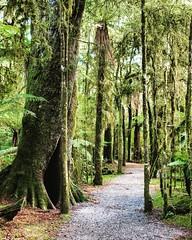 ทางฝั่ง ตะวันตกของเกาะใต้หรือเรียกว่าฝั่งwest cost จะมีป่าที่เป็นเอกลักษณ์ เฉพาะตัว ถือว่าเป็นมิตรกับคนทุกเพศทุกวัย เดินชมนกชมไม้ได้สบาย ที่นี่เป็นทางเดินเข้าไปดูน้ำตก ที่สวยมากแห่งหนึ่งในเส้นทางระหว่างเมือง Fox Glacier และ Wanaka ครับ #graycateverywhere