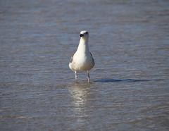 A seagull wades in the Atlantic Ocean (apardavila) Tags: beach seagull jerseyshore atlanticocean manasquan manasquanbeach
