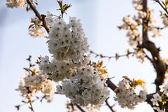 IMG_5384 (seba82) Tags: primavera tommaso fiori filippo seba marianna ciliegi vignola familiasalati