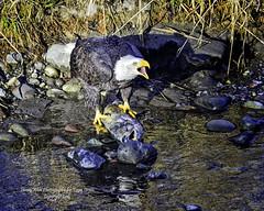 Don't even think about it!!!!! (Hawg Wild Photography) Tags: bird nature birds landscape nikon eagle wildlife baldeagle raptor prey eagles raptors americanbaldeagle d810 of terrygreen nikon600mmvr