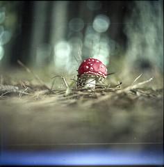 Sobre o mgico ato de desintegrar (Tuane Eggers) Tags: film fungi cogumelo amanita 120mm muscaria fungos desintegrar dissolver tuaneeggers decompor
