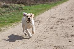 AP16-9585 Here I come (Jan-Willem Adams) Tags: dog netherlands puppy labrador nederland buddy gelderland garderen honden fordjw janwillemadams adamsphotography