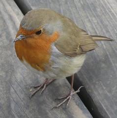 IMG_1533 (John Steedman) Tags: uk greatbritain england london robin erithacusrubecula unitedkingdom hampstead rougegorge redbreast rotkehlchen grossbritannien     grandebretagne stjohnathampstead