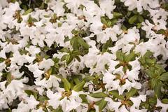 20160411_0002_1 (Bruce McPherson) Tags: flowers canada vancouver spring bc blossoms falsecreek granvilleisland blooms brucemcphersonphotography