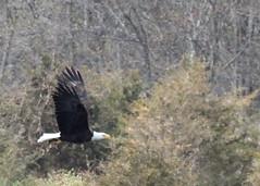 Bald Eagle with a fish at Hyper Humus (Tombo Pixels) Tags: bird newjersey eagle baldeagle bald nj hyperhumus twb1 naturewalk2016 hyperhumus160110