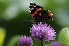 Incontro (lincerosso) Tags: flowers primavera butterflies fiori piante bellezza giardino incontro erbacipollina farfalle vanessaatalanta armonia alloimschornophrasum paludialpine