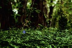 (trevis_lu) Tags: flower primavera nature photo spring natura fiore nikkor50mmf14 sottobosco nikondf