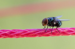 Bug (rc.forte) Tags: macro bug fly inseto mosca