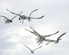 image (Forrest Milder) Tags: seagulls birds north northcarolina carolina outer banks
