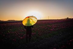 Tulip Sunset (adox66) Tags: flowers ireland sunset dublin sun colour landscape nikon rush d7100
