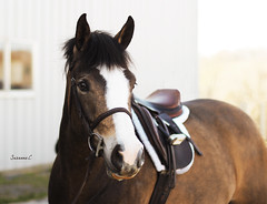 (suzcphotography) Tags: show horse cute canon 50mm mare pony jumper hunter equestrian equine mercy bridgewater t3i