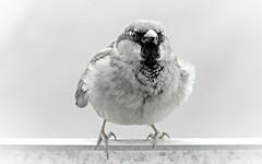 16 of 52 - Sparrow (linlaw39) Tags: blackandwhite mono scotland wildlife 15 april week weeks 1652 fraserburgh 2016 week16 project52 201652 startingfriday image1652 editionweek