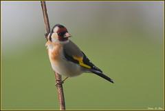 Chardonneret lgant ( Carduelis carduelis ) (norbert lefevre) Tags: couleur plumage lgant chardonneret