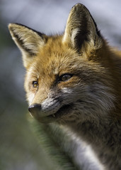 Last fox picture (Tambako the Jaguar) Tags: red portrait zoo switzerland nikon farm canine calm fox bern attentive d4 canid johnskleinefarm