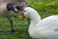 0421 IMG_4552 (JRmanNn) Tags: geese paradise lasvegas canadiangeese sunsetpark blahblahblah