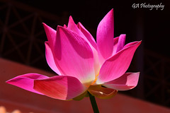 LOTUS (GA Natural Light Photography) Tags: plant nature beautiful beauty indonesia photography purple lotus indah bestpicture cantik bestphoto beautifulflower myflower bungaku bungacantik bungaindah